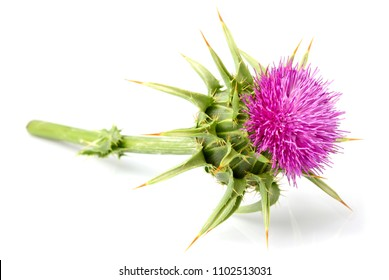 Medical plants. Milk thistle (Silybum marianum) isolated on white background.