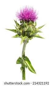 Medical plants: Milk thistle (Silybum marianum) - close up