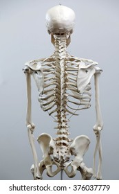 Medical visual aid - model of human skeleton over white