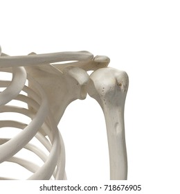medically accurate 3d rendering of the shoulder bones