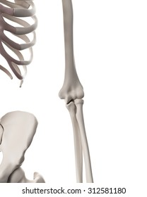 medically accurate illustration of the skeletal system - the elbow