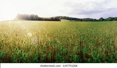 Medicinal Cannabis Outdoor Cultivation