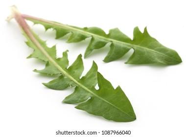 Medicinal dandelion leaves over white background