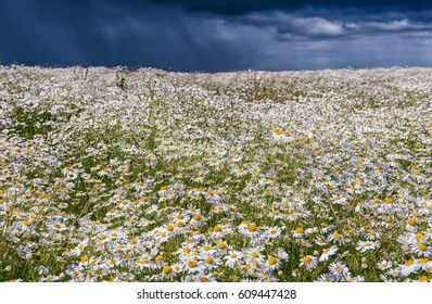 the medicinal field of daisies against a stormy rainy sky in summer day