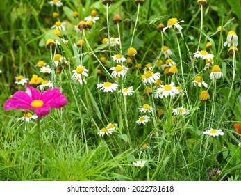 Medicinal garden herbs German chamomile
