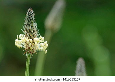 Medicinal herb bloom of the ripwort