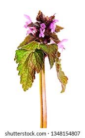 Medicinal herb Purple dead-nettle (Lamium purpureum) isolated on white background.