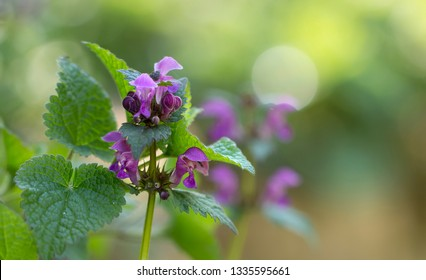 Medicinal herbs - blossom of lemon balm (Melissa officinalis)
