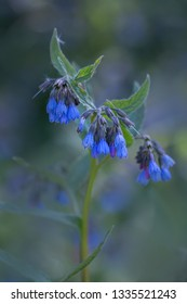 Medicinal herbs - Blue flowers of the blue comfrey [Symphytum caucasicum]