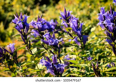 Medicinal herbs: Blue flowers of willow gentian (Gentiana asclepiadea)