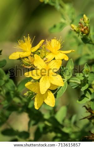 Medicinal herbs brightly yellow flowers common stock photo edit now medicinal herbs brightly yellow flowers of common saint johns wort hypericum perforatum mightylinksfo