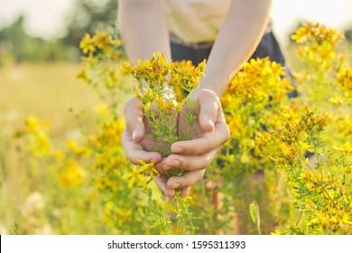 Medicinal herbs growing in wild meadow. Yellow blooming St. John's wort hypericum in girls hand. Natural herbal medicine, ecology, summer season