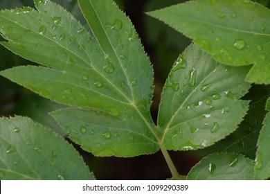 "Medicinal herbs of longevity ""Angelica keiskei""(Japanese Ashitaba)"
