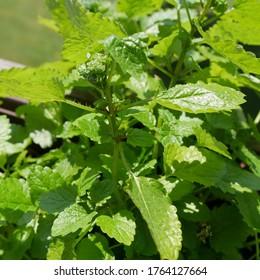 medicinal herbs sod mint and lemon balm - Shutterstock ID 1764127664