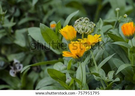 Medicinal herbs yellow flowers seeds marigold stock photo edit now medicinal herbs yellow flowers and seeds of marigold calendula officinalis mightylinksfo