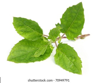 Medicinal holy basil or tulsi leaves