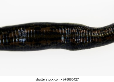 Medicinal leech Hirudo verbana medicinalis oriental subspecies with ornament on the back on a white background, macro. Grown on a biofactory