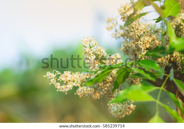 Medicinal neem flower and leaves