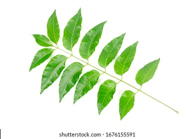 Medicinal neem leaf isolated on white background. Green leaf in South East Asia. Azadirachta indica var. siamensis valeton.