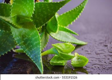 medicinal plant aloe vera leaves on black background