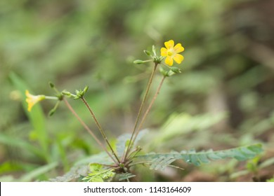 Medicinal plant Biophytum sensitivum, also known as little tree plant. It is called mukkutti in Malayalam.