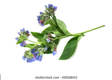 Medicinal plant comfrey (Symphytum officinale) on a white background. It is used for outdoor applications, promotes splicing bones. Caution, there are contraindications
