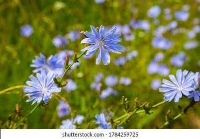 Medicinal plant Common chicory (Cichórium íntybus) is a species of perennial herbaceous plants from the genus Chicory (Cichorium) of the Asteraceae family. Herbal medicine. Selective focus