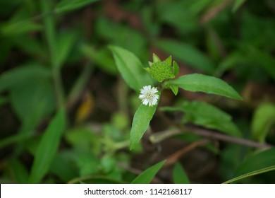 Medicinal plant Eclipta prostrata commonly known as false daisy, yerba de tago, and bhringraj. Called Kayyonni in Malayalam.