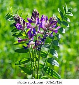 Medicinal plant growing in Siberia espartsetovy Astragalus (Astragalus onobrychis)
