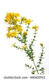 Medicinal plant: Hypericum perforatum.