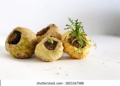 Medicinal plant Maca Peruvian stretcher