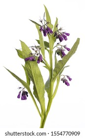 medicinal plant from my garden: Symphytum officinale L. (comfrey) open flowers and leafs isolated on white background