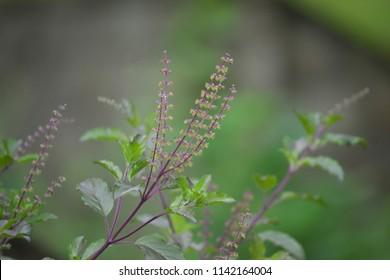 Medicinal plant Ocimum tenuiflorum (Ocimum sanctum), commonly known as holy basil, tulasi (sometimes spelled thulasi) or tulsi.