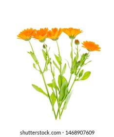 Medicinal plant with orange flowers Calendula officinalis. Studio Photo