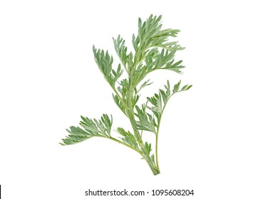 medicinal plant of wormwood on white background