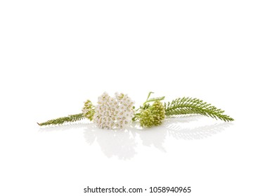 Medicinal plant yarrow isolated on white background. Achillea millefolium, medicinal plant.