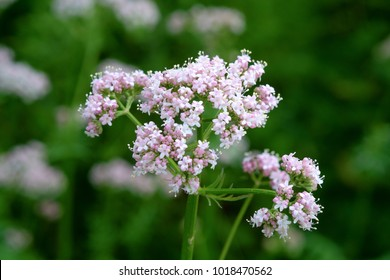 Medicinal plants - Budding pink flowering common Valerian (Valeriana officinalis) in the summer season.