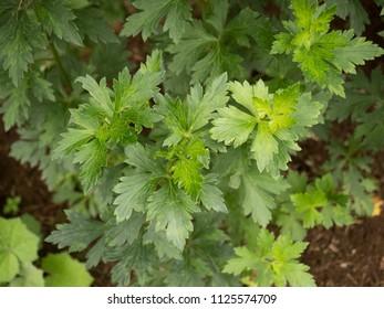Medicinal plants called Aconitum