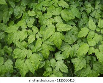 Medicinal plants called Cimicifuga simplex