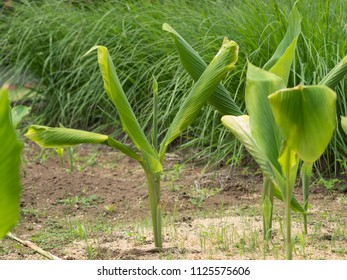 Medicinal plants called Curcuma aromatica