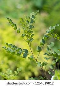 "Medicinal plants called ""Glycyrrhiza uralensis"""