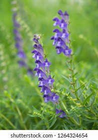 Medicinal plants called Scutellaria baicalensis