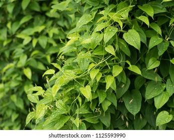 Medicinal plants called Stemona japonica