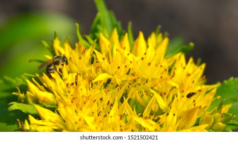 Medicinal plants Golden Root, Rhodiola rosea. Rhodiola rosea is used as a tea to relieve fatigue, exhaustion, to improve performance and endurance.