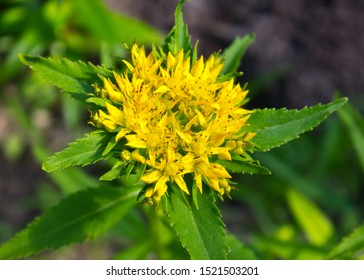 =Medicinal plants Golden Root, Rhodiola rosea. Family Crassulaceae. Rhodiola rosea is used as a tea to relieve fatigue, exhaustion, to improve performance and endurance.
