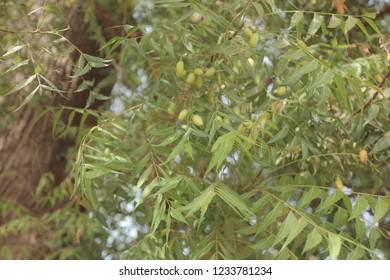 Mahogany Tree Isolated Images, Stock Photos & Vectors