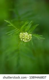 Medicinal plants - Valerian Valeriana tripteris . Valeriana tripteris a rare. medicinal plant. Valeriana tripters flowers selective focus