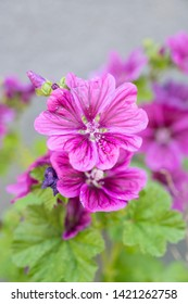 Medicinal plants: Wild mallow, malva sylvestris in bloom