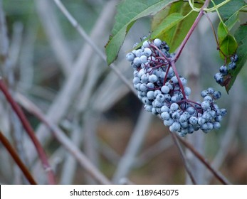 Medicinal Ripe Autumn Elderberry aka as Sambucus bush...