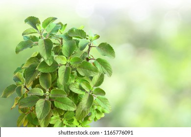 Medicinal tulsi or holy basil indian herb for hindu religion or health concept